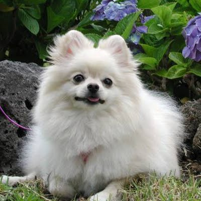 03 - Pomeranian - Top 10 Most Talktative Dogs