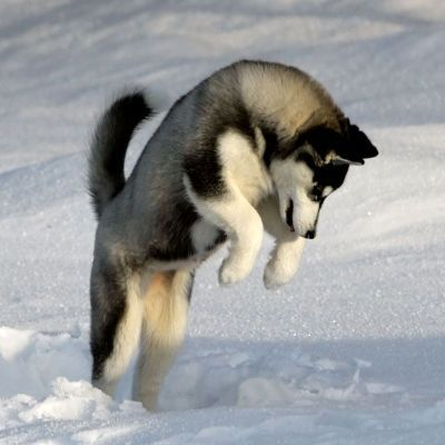 06 - Siberian Husky - Top 10 Most Talktative Dogs