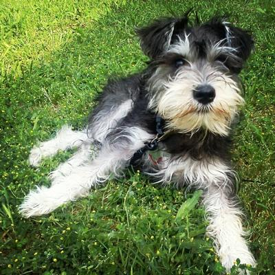 08 - Miniature Schnauzer - Top 10 Most Talktative Dogs